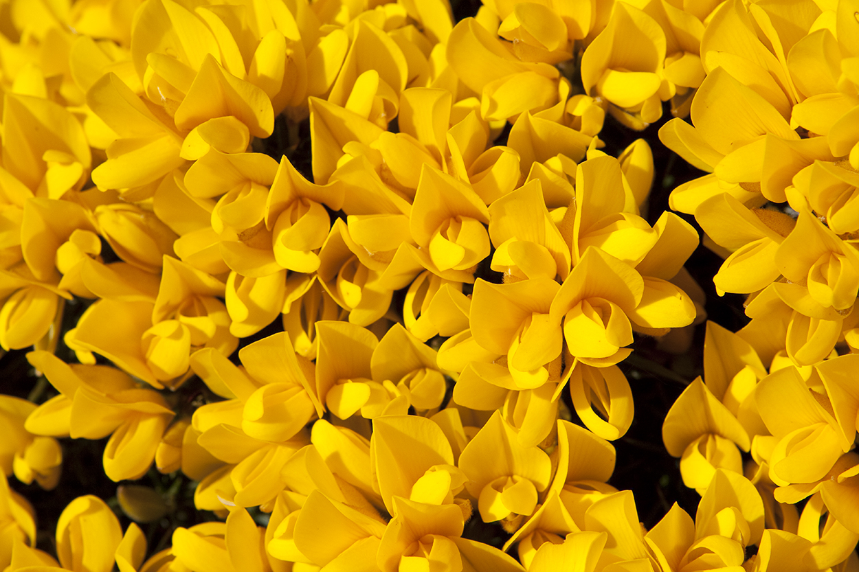 Vibrant yellow - Gorse in flower